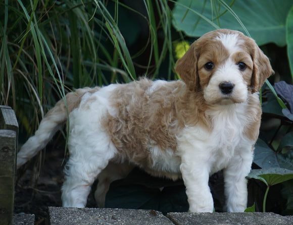 Medium F1BB Goldendoodle For Sale Millersburg, OH Female- Rainbow
