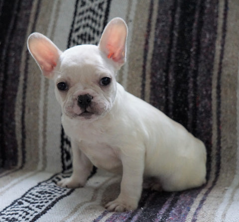 CKC Registered French Bulldog For Sale Millersburg, OH Male- Tom