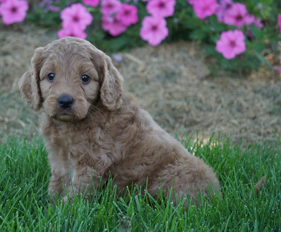 Medium F1BB Goldendoodle For Sale Millersburg, OH Female- Requel