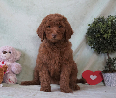 Standard F1B Goldendoodle For Sale Holmesville, OH Female -Brooklyn