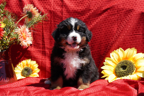 AKC Registered Bernese Mountain Dog Puppy For Sale Baltic Ohio Male Dustin