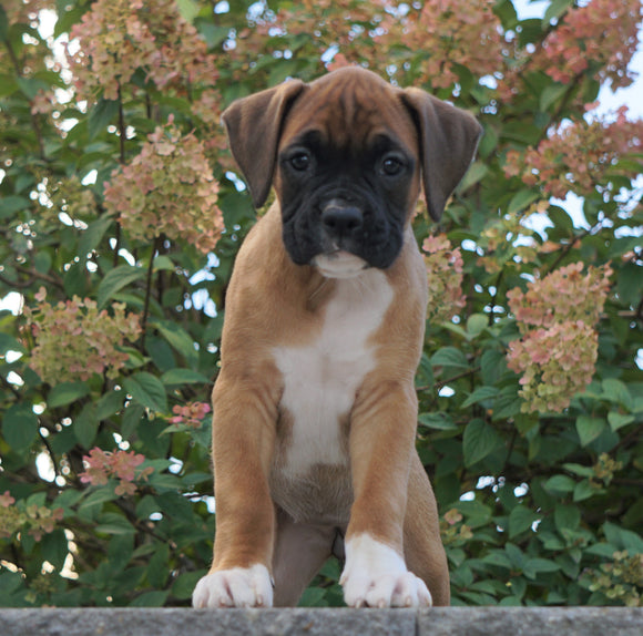 AKC Registered Boxer For Sale Fredericksburg, OH Female- Kacie
