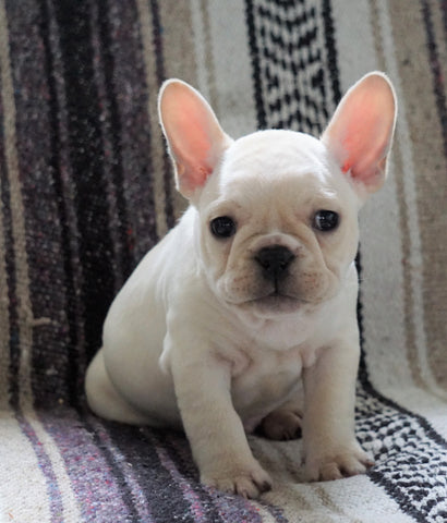 CKC Registered French Bulldog For Sale Millersburg, OH Male- Lucas