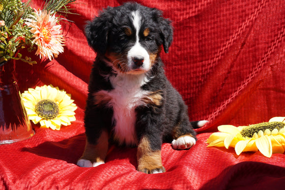 AKC Registered Bernese Mountain Dog Puppy For Sale Baltic, OH Male Dakota