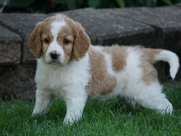 Medium F1BB Goldendoodle For Sale Millersburg, OH Female- Rylie
