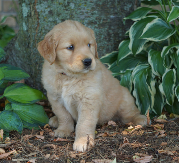 AKC Registered Golden Retriever For Sale Fredericksburg, OH Female- Charity