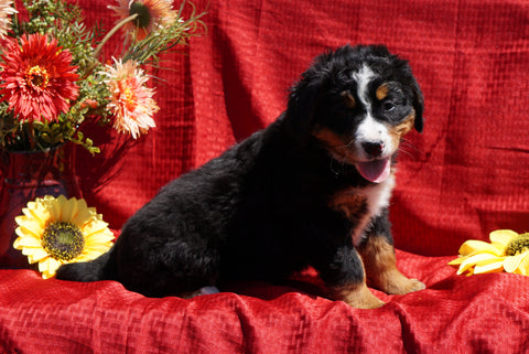 AKC Registered Bernese Mountain Dog Puppy For Sale Baltic, OH Female Dolly