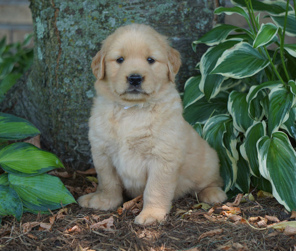 AKC Registered Golden Retriever For Sale Fredericksburg, OH Female- Peace
