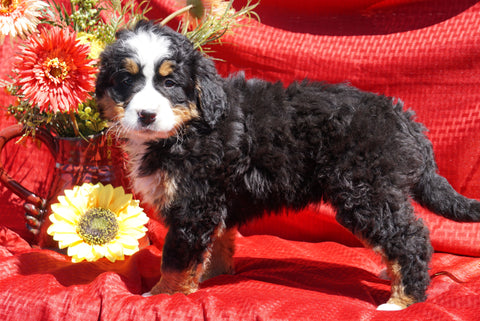 AKC Registered Bernese Mountain Dog Puppy For Sale Baltic, OH Female Daisy
