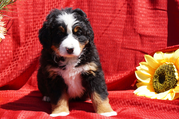 AKC Registered Bernese Mountain Dog Puppy For Sale Baltic, OH Female Dutchess