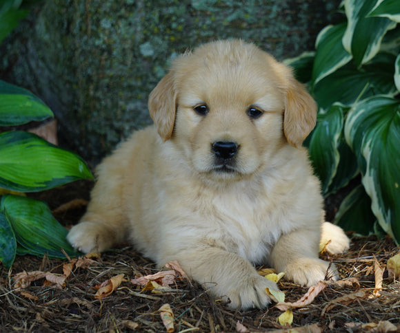 AKC Registered Golden Retriever For Sale Fredericksburg, OH Female- Serenity