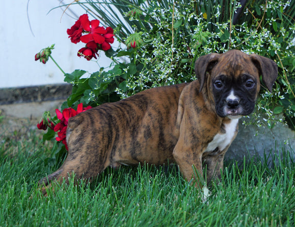 AKC Registered Boxer For Sale Fredericksburg, OH Male- Max