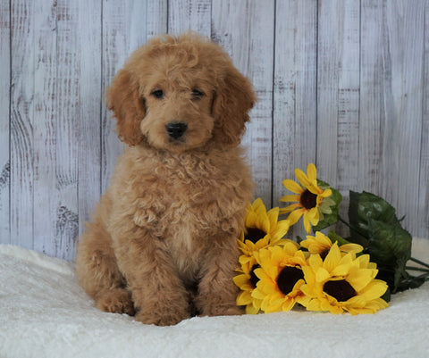 F1B Mini Goldendoodle For Sale Holmesville, OH Male - Frankie