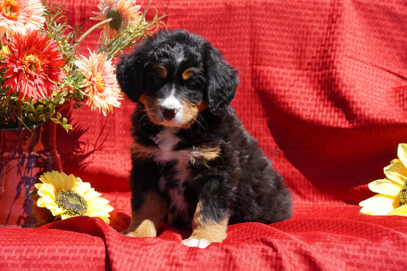 AKC Registered Bernese Mountain Dog Puppy For Sale Baltic, OH Female Darla