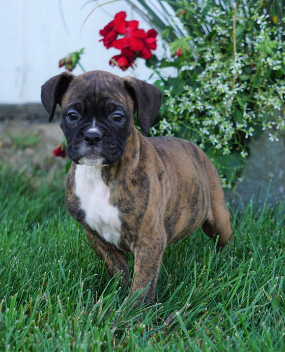 AKC Registered Boxer For Sale Fredericksburg, OH Male- Morgan