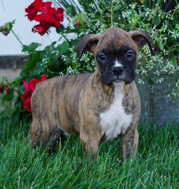 AKC Registered Boxer For Sale Fredericksburg, OH Male- Mike