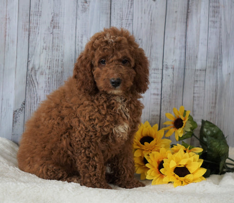 F1B Mini Goldendoodle  For Sale Holmesville OH Male- Nick