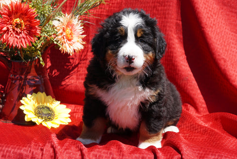 AKC Registered Bernese Mountain Dog Puppy For Sale Baltic, OH Female Dallas
