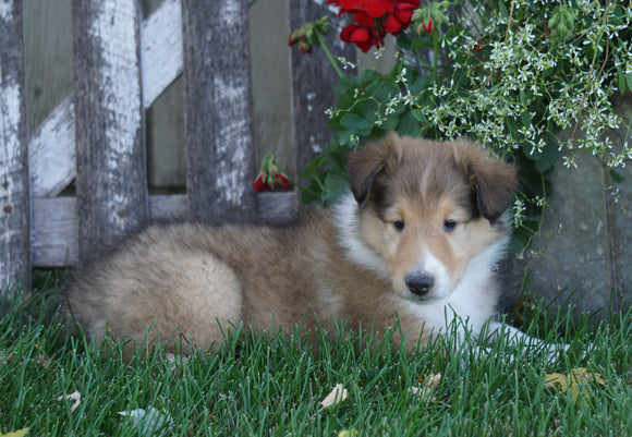 AKC Registered Lassie Collie For Sale Fredericksburg, OH Male- Lincoln