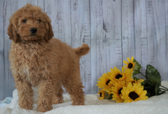 F1B Mini Goldendoodle For Sale Holmesville OH Male- Chase