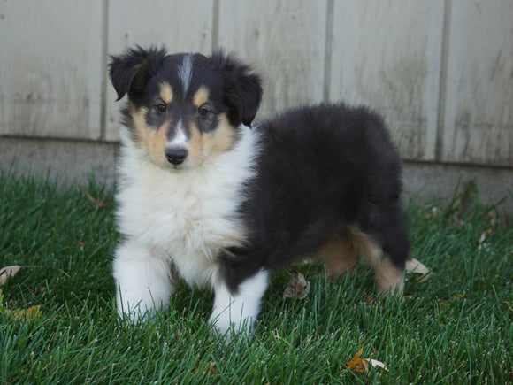 AKC Registered Lassie Collie For Sale Fredericksburg, OH Male- Leo