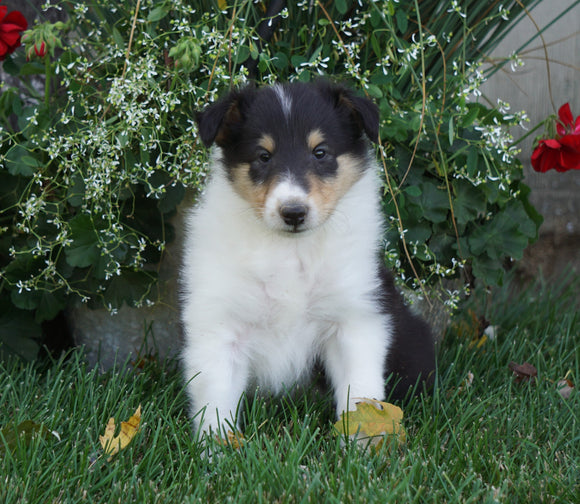 AKC Registered Lassie Collie For Sale Fredericksburg, OH Male- Toby