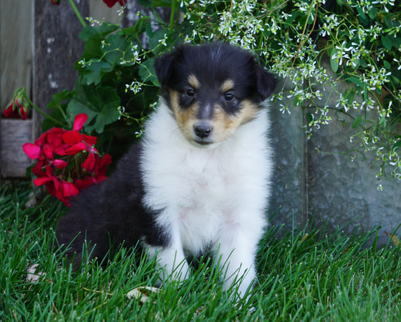 AKC Registered Lassie Collie For Sale Fredericksburg, OH Female- Tina