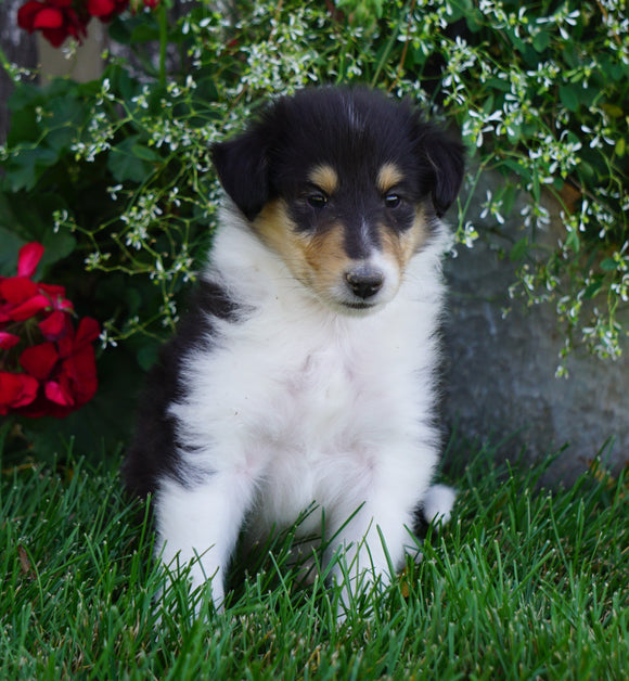 AKC Registered Lassie Collie For Sale Fredericksburg, OH Male- Tyler