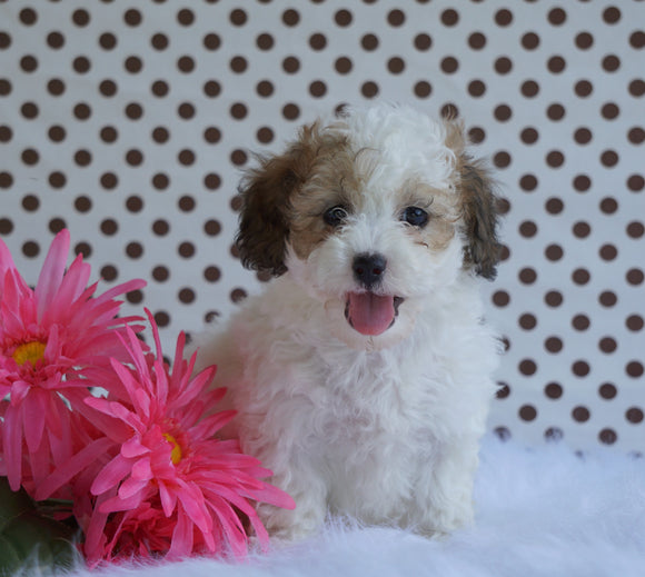 Toy Poodle For Sale Fredericksburg, OH Female- Barbie