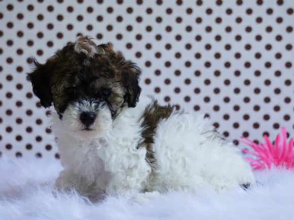 Toy Poodle For Sale Fredericksburg, OH Male- Brady