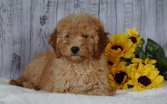 F1B Mini Goldendoodle For Sale Holmesville OH Female- Abby