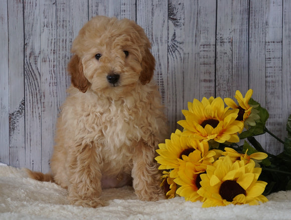 F1B Mini Goldendoodle For Sale Holmesville OH Male- Mike