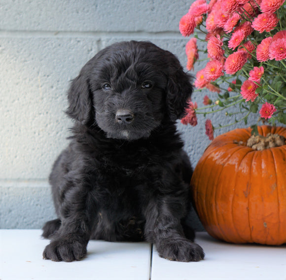 Newfypoo (Standard) For Sale Millersburg, OH Female- Molly