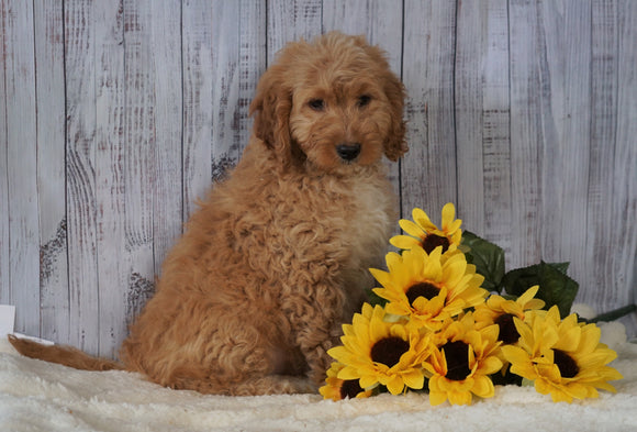 F1B Mini Goldendoodle For Sale Holmesville OH Male- Mickey