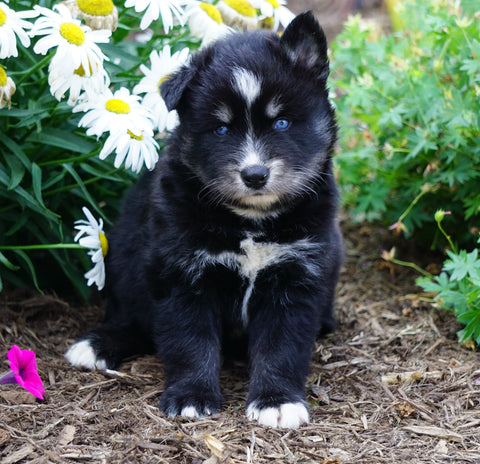 Pomsky For Sale Fredericksburg, OH Male- Boomer