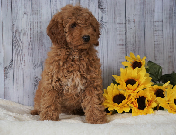 F1B Mini Goldendoodle For Sale Holmesville OH Female- Amber