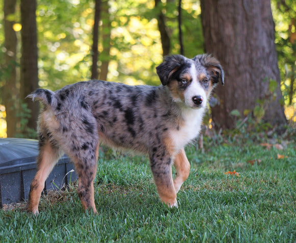 Australian Shepherd Mix Puppy For Sale Millersburg, OH Female- Noel