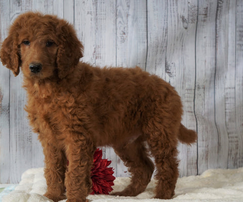 F1B Standard Goldendoodle For Sale Holmesville, OH Male - Shane