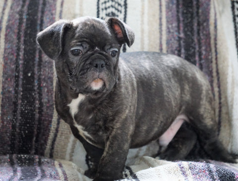 Frenchton Mix Puppy For Sale Millersburg, OH Male- Mike