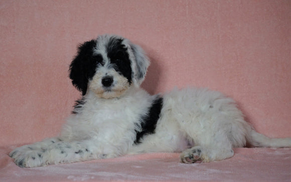 F1B Sheepadoodle For Sale Baltic, OH Male- Nemo -CHECK OUT OUR VIDEO-
