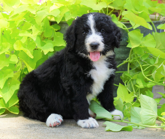 Standard Bernedoodle For Sale Shreve, OH Female- Roxy