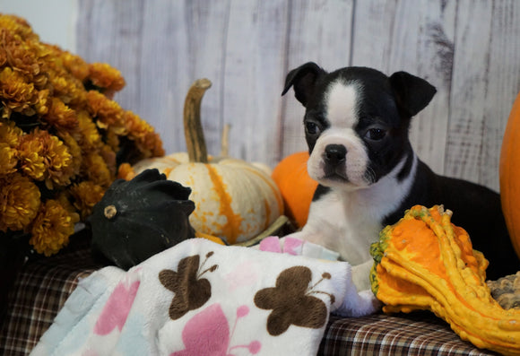 AKC Registered Boston Terrier For Sale Warsaw, OH Female- Autumn