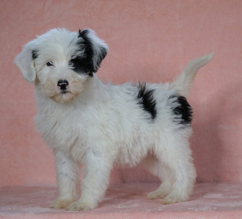 F1B Sheepadoodle For Sale Baltic, OH Female- Flora -CHECK OUT OUR VIDEO-