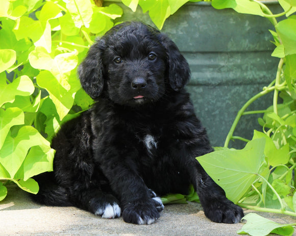 Standard Bernedoodle For Sale Shreve, OH Female- Bella