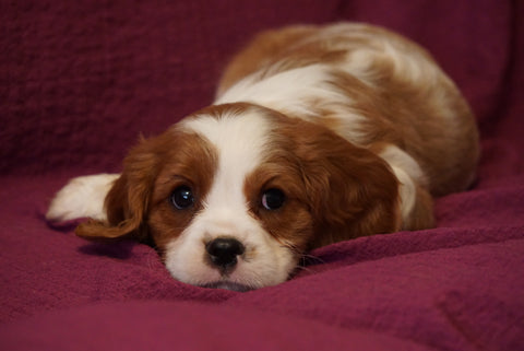 AKC Registered Cavalier King Charles Spaniel For Sale Fredericksburg, OH Male Oscar