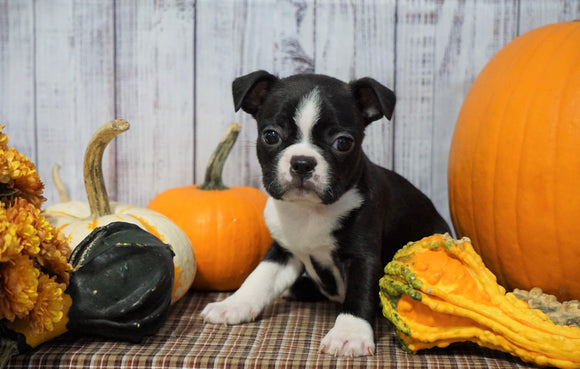 AKC Registered Boston Terrier For Sale Warsaw, OH Female- Ginger
