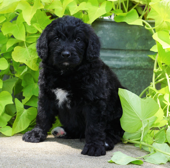 Standard Bernedoodle For Sale Shreve, OH Male- Tucker