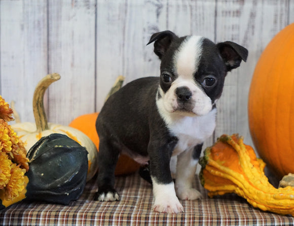 AKC Registered Boston Terrier For Sale Warsaw, OH Male- Rocky