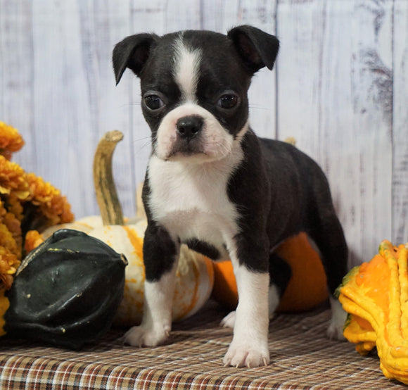AKC Registered Boston Terrier For Sale Warsaw, OH Female- Cinnamon