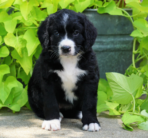Standard Bernedoodle For Sale Shreve, OH Female- Mia
